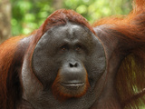 Male Borneo Orangutan Face (Pongo Pygmaeus), Camp Leaky, Tanjung Puting National Park, Kalimantan Photographic Print by Thomas Marent