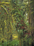 Epiphytic Sword Ferns and Mosses (Polystichum Munitum) Cover Bigleaf Maple Trees Photographic Print by Geoffrey Schmid