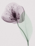 X-Ray of a Leaf and Flower Photographic Print by George Taylor