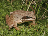 Wood Frog (Rana Sylvatica), Eastern and Northern North America Photographic Print by David Wrobel