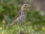 Song Thrush (Turdus Philomelos) Eating a Worm, UK Reproduction photographique par Dave Watts