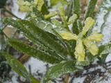 Freezing Rain Coats a Flowering Plant in a Layer of Ice in Early Spring in Colorado Photographic Print by Jon Van de Grift