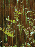 Autumn Fern Growing in from of a Willow Stem Fence (Dryopteris Erythrosora) Photographic Print by Phillip Smith