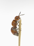 This Insect May Look Like an Ant, But it Is a Wasp with a Very Painful Sting Photographic Print by B. Mete Uz