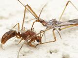 Assassin Bugs (Zelus Tetracanthus) Photographic Print by Alex Wild