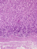 Human Stomach Fundus Section Showing Darker Pepsin Secreting Chief Cells Photographic Print by Gladden Willis