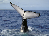 Humpback Whale Fluke (Megaptera Novaeangliae), Queensland, Australia Photographic Print by Dave Watts