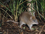Long-Footed Potoroo (Potorous Longipes), an Endangered Species, Victoria, Australia Photographic Print by Dave Watts