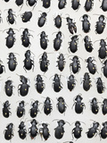 Ground Beetles or Carabid Collection Photographic Print by Alex Wild