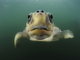 Female Olive Ridley Sea Turtle (Lepidochelys Olivacea) Swimming from the Open Pacific Ocean Photographic Print by Solvin Zankl