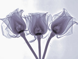 X-Ray of Rose Flowers Photographic Print by George Taylor