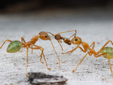 Green Tree Ants (Oecophylla Smaragdina) Eating an Ant (Pheidole), Cape York Peninsula, Queenland Photographic Print by Alex Wild