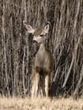 Mule Deer Yearling (Odocoileus Hemionus), Western North America Photographic Print by Tom Walker