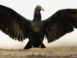 Black Vulture (Coragyps Atratus) Sunning with Spread Wings, Playa Ostional, Costa Rica Photographic Print by Solvin Zankl