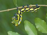 Brahmeid Moth Caterpillar (Brahmaea Wallichii), 5th Instar, China Photographic Print by Leroy Simon