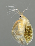 Water Flea (Daphnia Magna) Female with Eggs Photographic Print by Solvin Zankl
