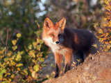 Red Fox (Vulpes Vulpes), Alaska, USA Photographic Print by Tom Walker