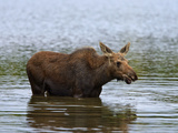 Moose (Alces Alces) Calf Drinking Water, Baxter State Park, Millinocket, Maine, USA Photographic Print by Gustav Verderber