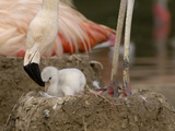 Chilean Flamingo (Phoenicopterus Chilensis) Adult with Small Chick in the Nest, Captive Photographie par Dave Watts