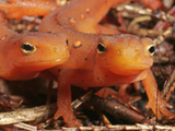Red Efts Heads (Notophthalmus Viridescens), the Terrestrial Phase of the Eastern Newt, Eastern USA Photographic Print by David Wrobel