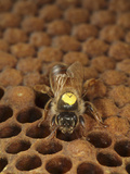A Marked Queen Honey Bee on Capped Brood Comb Photographic Print by Eric Tourneret