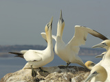 Northern Gannet Sky Pointing Courtship Display, Scotland, UK Photographic Print by Solvin Zankl