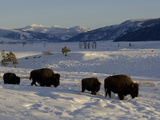 Bison (Bison Bison) Walking in Snow, Yellowstone National Park, USA Photographic Print by Dave Watts