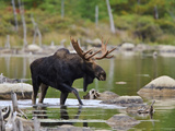 Male Moose (Alces Alces), Baxter State Park, Millinocket, Maine, USA Photographic Print by Gustav Verderber
