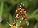 Red Ants in the Flying Phase (Formica), Order Hymenoptera, Family Formicidae, New Hampshire, USA Photographic Print by David Wrobel
