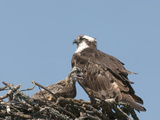Female and Young Osprey (Pandion Haliaetus) at Nest, Flathead Lake, Montana, USA Photographic Print by Tom Walker