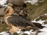 Bearded Vulture or Lammergeier (Gypaetus Barbatus), Pyrenees, France Photographic Print by Dave Watts