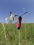 The Slender Burnet Moth (Zygaena Loti) in Field, with an Entomologist Photographic Print by Solvin Zankl
