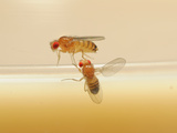 Wild Type Male Fruit Fly (Below) During Courtship Using His Wings to Generate Sound Photographic Print by Solvin Zankl