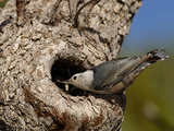 White-Breasted Nuthatch (Sitta Carolinensis) Feeding Chicks in a Nest Hole of a Tree, Arizona, USA Papier Photo par Dave Watts