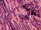 Tendon Section, H&E Stain, LM X200 Photographic Print by Alvin Telser