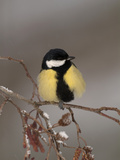 Great Tit on a Snowy Branch (Parus Major), Pyrenees, France Photographic Print by Dave Watts