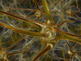 Biomedical Illustration of Neurons Photographic Print by Carol & Mike Werner
