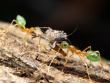 Oecophylla Smaragdina, the Green Tree Ant of Northern Australia, with Prey Photographic Print by Alex Wild
