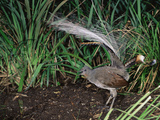 Superb Lyrebird (Menura Novaehollandiae), Victoria, Australia Photographic Print by Dave Watts