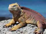 Galapagos Land Iguana (Conolophus Subcristatus), South Plaza Island, Galapagos Fotografie-Druck von Richard Roscoe
