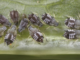 Aphid Colony Feeding on a Leaf, Order Hemiptera, Family Aphididae, New Hampshire, USA Photographic Print by David Wrobel