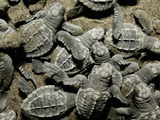 Olive Ridley Sea Turtles (Lepidochelys Olivacea) Emerge All Together from the Nest Photographic Print by Solvin Zankl