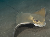 Eagle Ray (Myliobatis Aquila), Los Gigantes, Tenerife, Canary Islands, Atlantic Ocean Photographic Print by Andy Murch