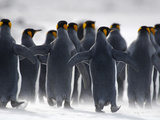 King Penguins (Aptenodytes Patagonicus) Walking Along a Sandblown Sandy Beach, Falkland Islands Photographic Print by Solvin Zankl
