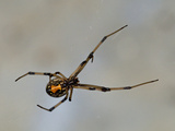 Young Black Widow Spider (Latrodectus Mactans), Florida, USA Photographic Print by Leroy Simon