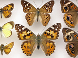 Butterfly Collection Photographic Print by Alex Wild