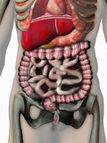 Biomedical Illustration of the Human Abdomen and Thorax Showing the Major Organs Photographic Print by Carol & Mike Werner