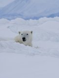 Male Polar Bear (Ursus Maritimus)Patrols Along the Floe Edge in Search of Food Photographic Print by Louise Murray