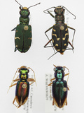 Tiger Beetle Collection Photographic Print by Alex Wild