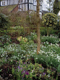 Garden with Lenten Rose (Helleborus Orientalis), Crocus, and Snowdrops Photographie par Phillip Smith